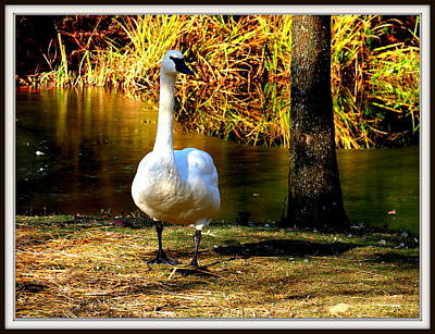 Photograph - Duck by Anand Swaroop Manchiraju