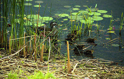 Photograph - Duck And Ducklings by Emanuel Tanjala