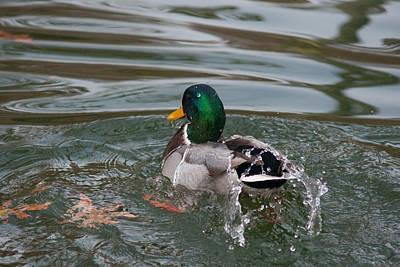 Duck Bathing Series 6 Print by Craig Hosterman