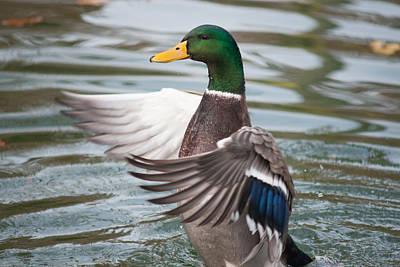 Duck Bathing Series 7 Print by Craig Hosterman