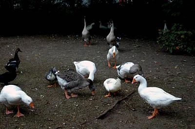 Hen Photograph - Duck Duck Goose by LeeAnn McLaneGoetz McLaneGoetzStudioLLCcom