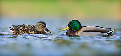 Photograph - Duck Family 1 by Yuri Peress