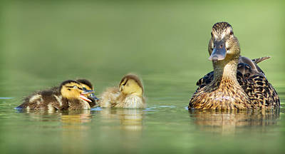 Photograph - Duck Family by Yuri Peress