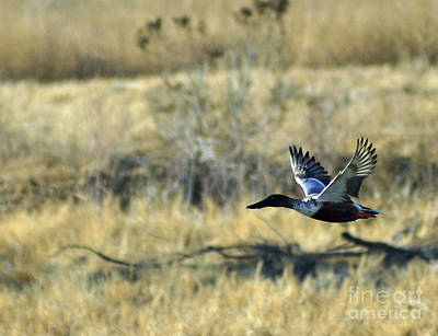 Photograph - Duck In Flight 2 by Shawn Naranjo