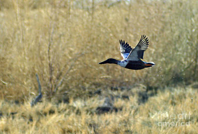 Photograph - Duck In Flight 3 by Shawn Naranjo
