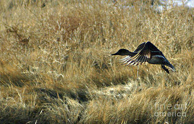 Photograph - Duck In Flight 4 by Shawn Naranjo