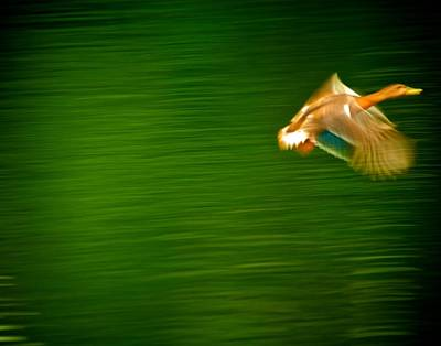 Duck In Motion Art Print