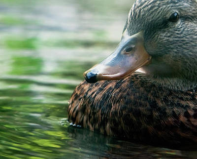 Photograph - Duck On Green by Lorraine Devon Wilke
