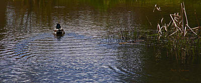 Photograph - Duck On Water by Mick Anderson