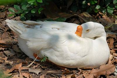 Art Print featuring the photograph Duck Resting by Fotosas Photography