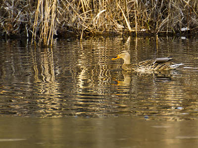 Birds Photograph - Duck Ripples by LeeAnn McLaneGoetz McLaneGoetzStudioLLCcom