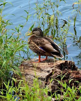 Photograph - Duck Season by Mark Bowmer