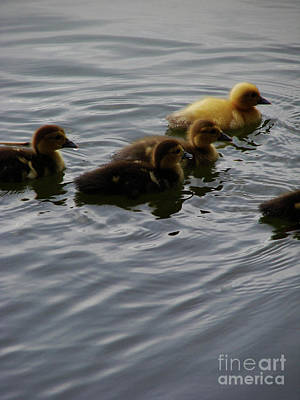 Photograph - Ducklings by Mark Holbrook