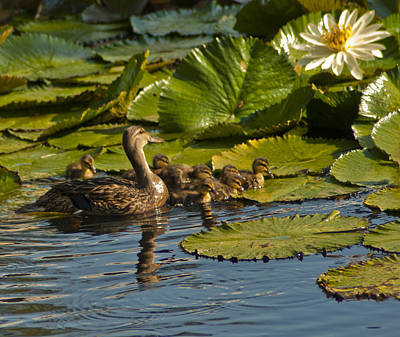 Ducks All In A Row Original by John Wright