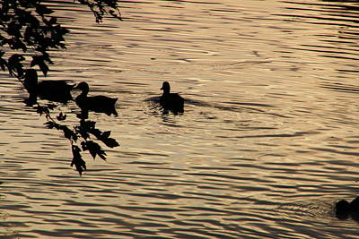 Photograph - Ducks At Sunset by Dezera Davis