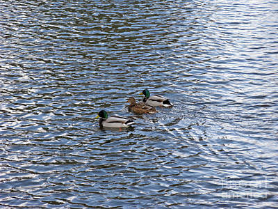 Photograph - Ducks. Love Triangle. by Ausra Huntington nee Paulauskaite