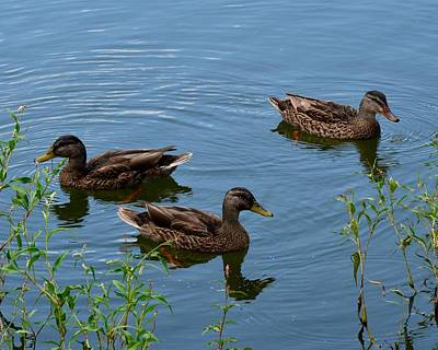 Photograph - Ducks On A Pond by Mark Bowmer