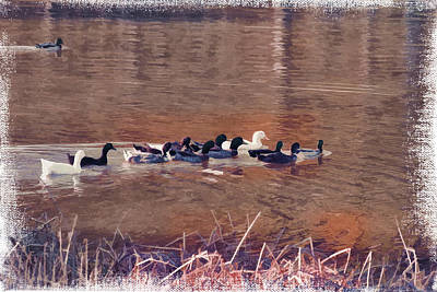 Ducks On Canvas Art Print by Douglas Barnard