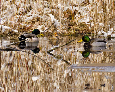 Bath Time Rights Managed Images - Ducks Reflect on the days events Royalty-Free Image by LeeAnn McLaneGoetz McLaneGoetzStudioLLCcom