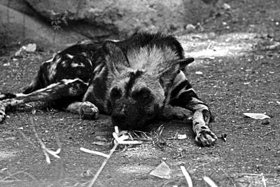 Photograph - Duncan The African Wild Dog by Elizabeth  Doran