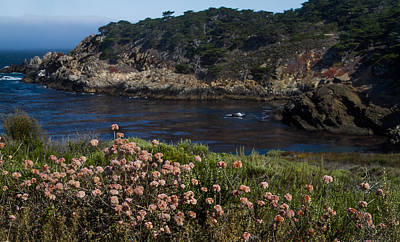 Photograph - Dune Buckwheat At Pt. Lobos by Roger Mullenhour