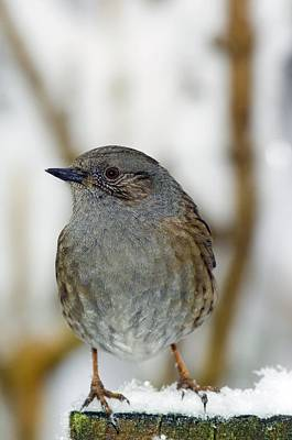 Dunnock Perched On A Garden Fence Art Print by Duncan Shaw