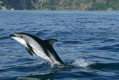 Photograph - Dusky Dolphin Lagenorhynchus Obscurus by Flip Nicklin