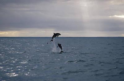 Dusky Dolphin Lagenorhynchus Obscurus Art Print
