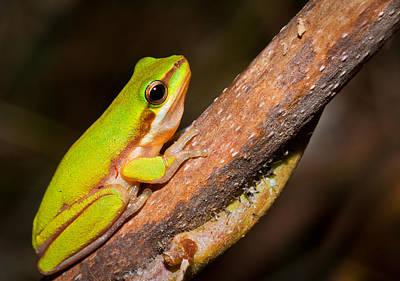 Frog Photograph - Dwarf Green Tree Frog by Johan Larson