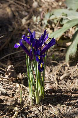 Photograph - Dwarf Irises by Raffaella Lunelli