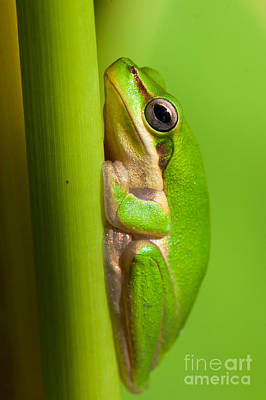 Dwarf Tree Frog Art Print by Johan Larson
