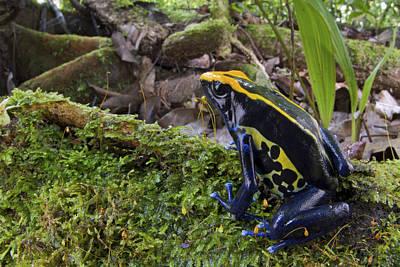 Mar2613 Photograph - Dyeing Poison Frog In Rainforest Surinam by Piotr Naskrecki