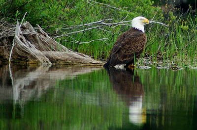 Eagle At Rest Art Print