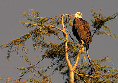 Photograph - Eagle At Sunset by Lawrence Christopher