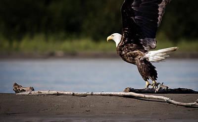 Alaska Wildlife Photograph - Eagle At Take Off by Thomas Payer
