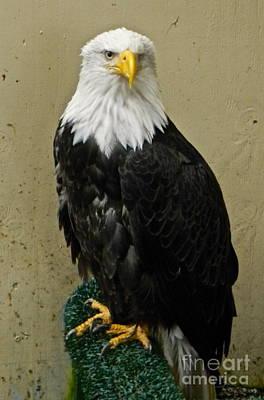 Eagle Art Print by Derek Swift