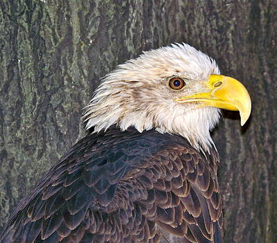 Photograph - Eagle  by Eve Spring