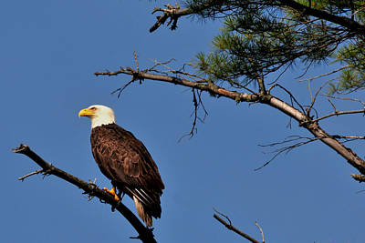Photograph - Eagle Eye by Peter DeFina