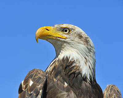Photograph - Eagle Eye by Tony Beck