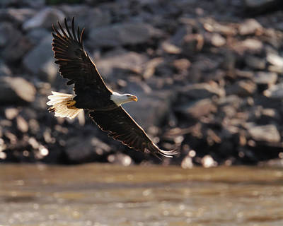 Photograph - Eagle In Flight by Craig Leaper