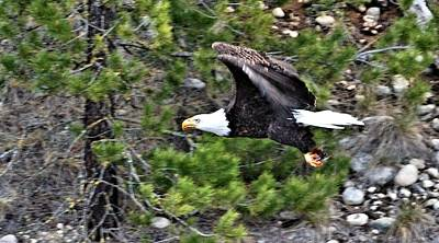 Eagle In Flight Art Print by Don Mann