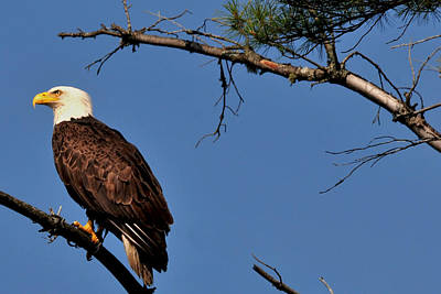 Photograph - Eagle On The Bog River by Peter DeFina