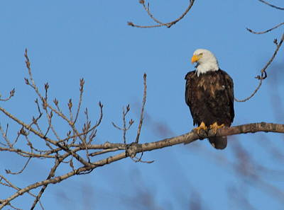Photograph - Eagle On The Illinois River by Coby Cooper