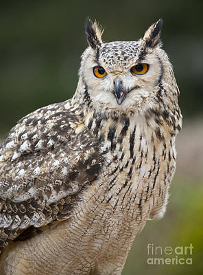 Photograph - Eagle Owl II by Chris Dutton