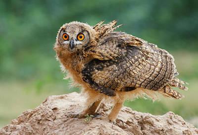 Eagle Owl Original by Zahoor Salmi