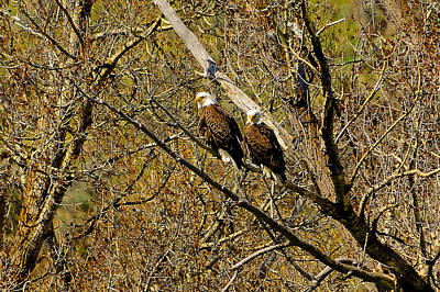 Photograph - Eagle Pair by Greg Norrell