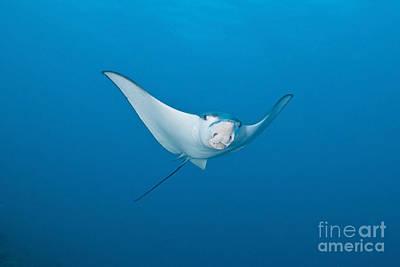 Batoidea Photograph - Eagle Ray, Ari And Male Atoll, Maldives by Mathieu Meur