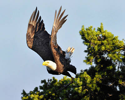 Eagle Takes Off Art Print by Sasse Photo