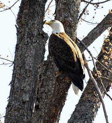 Photograph - Eagle Thinking by Glenn Gordon