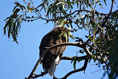 Photograph - Eagle Under Cover by Diana Hatcher